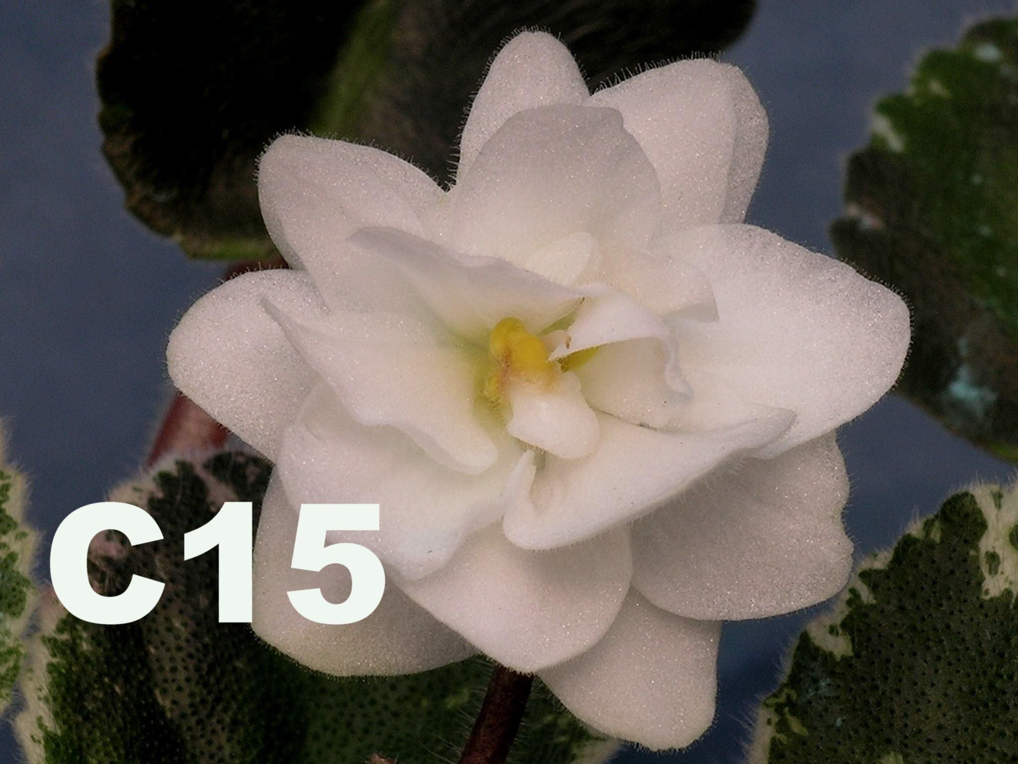 非洲紫羅蘭名錄 | African Violets Catalogue - C系列 C15