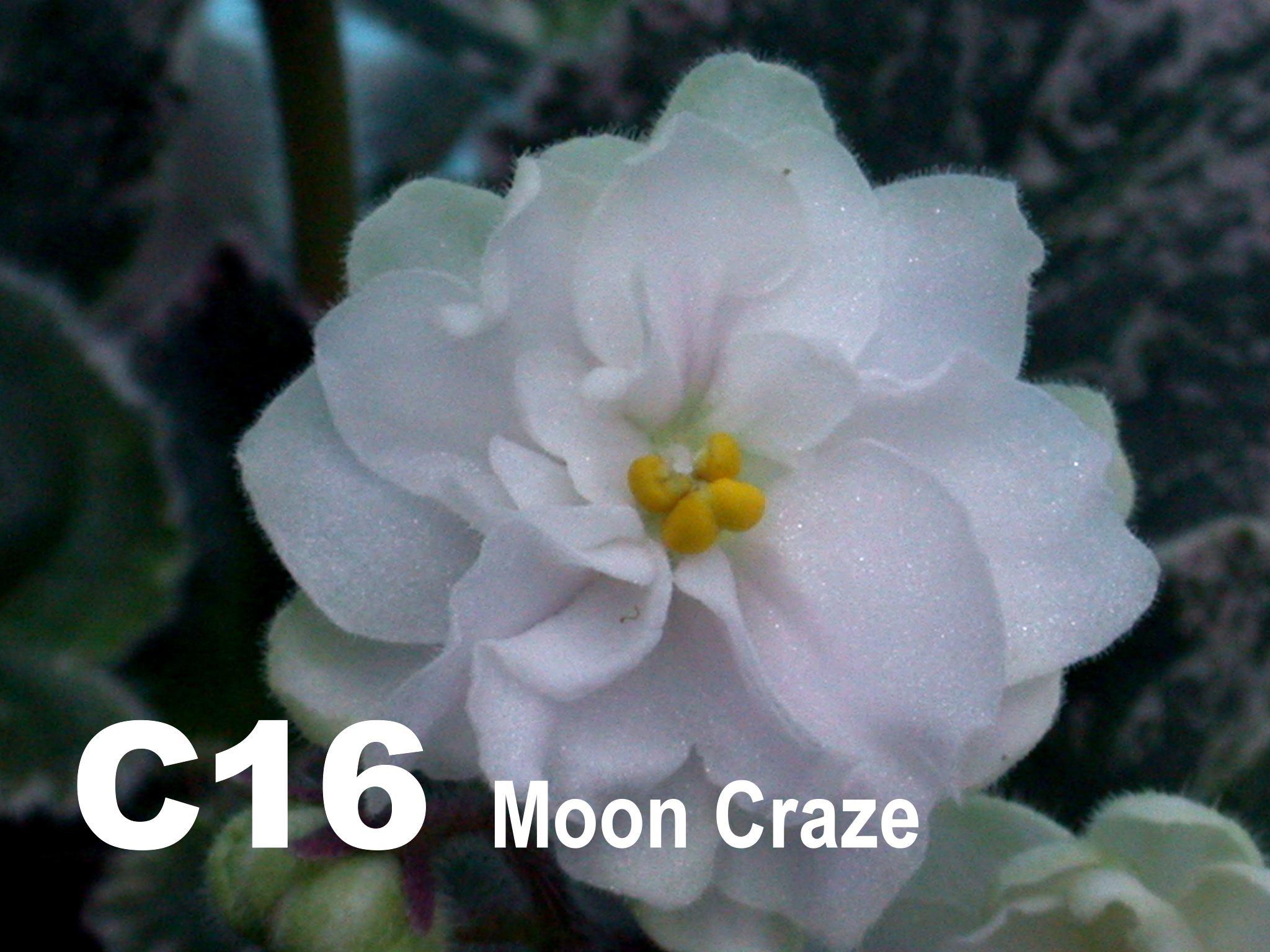 [C16] Moon Craze C16