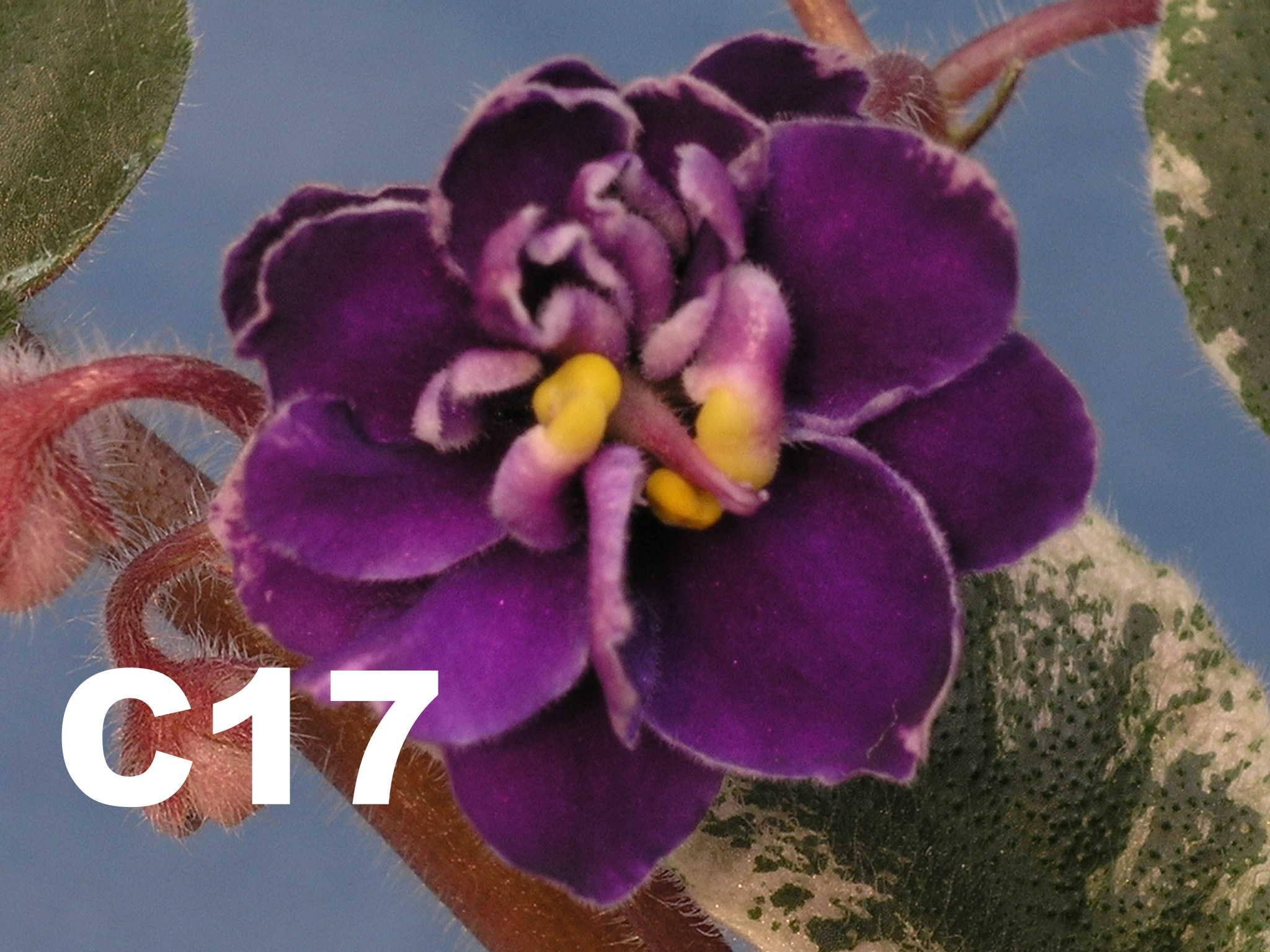 非洲紫羅蘭名錄 | African Violets Catalogue - C系列 C17