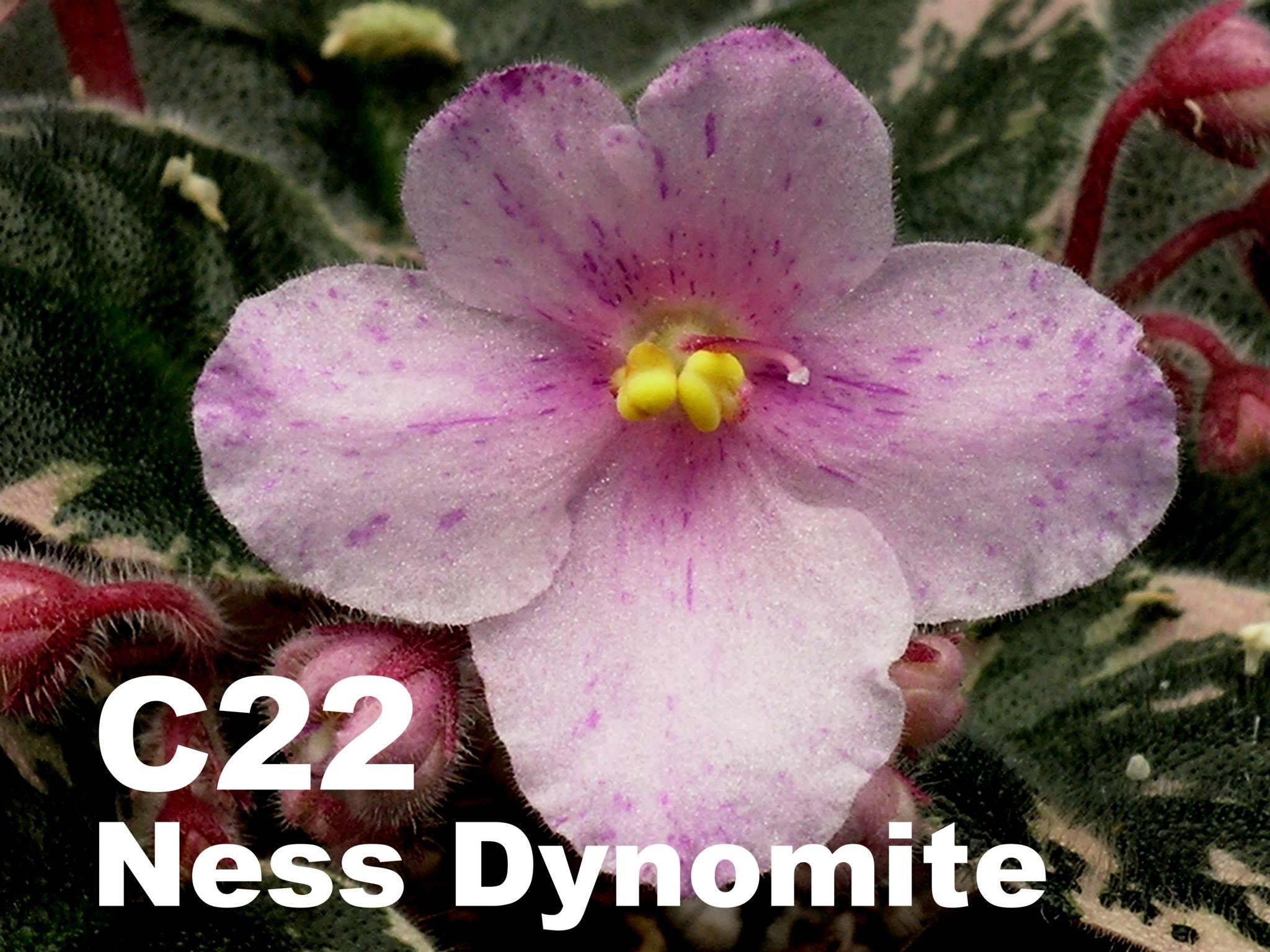 [C22] Ness' Dynomite C22