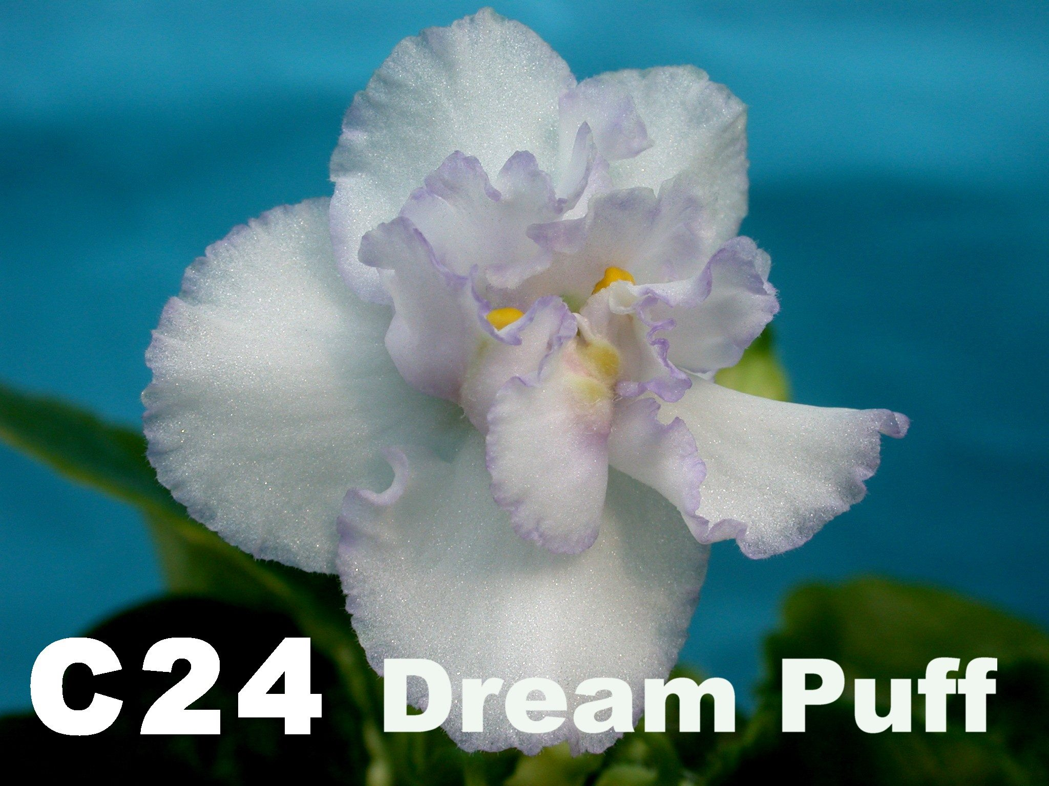 非洲紫羅蘭名錄 | African Violets Catalogue - C系列 C24