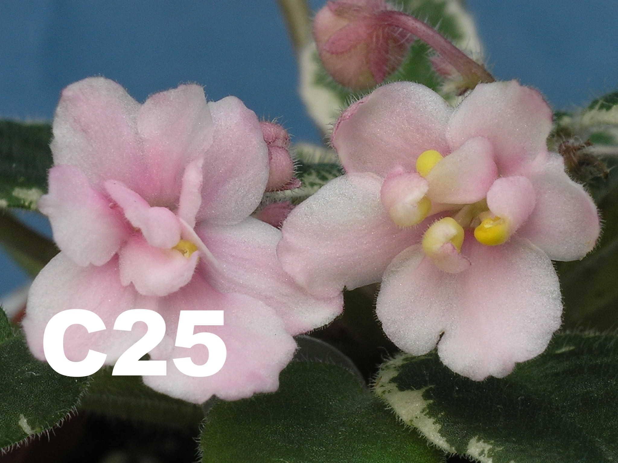 [C25] C25