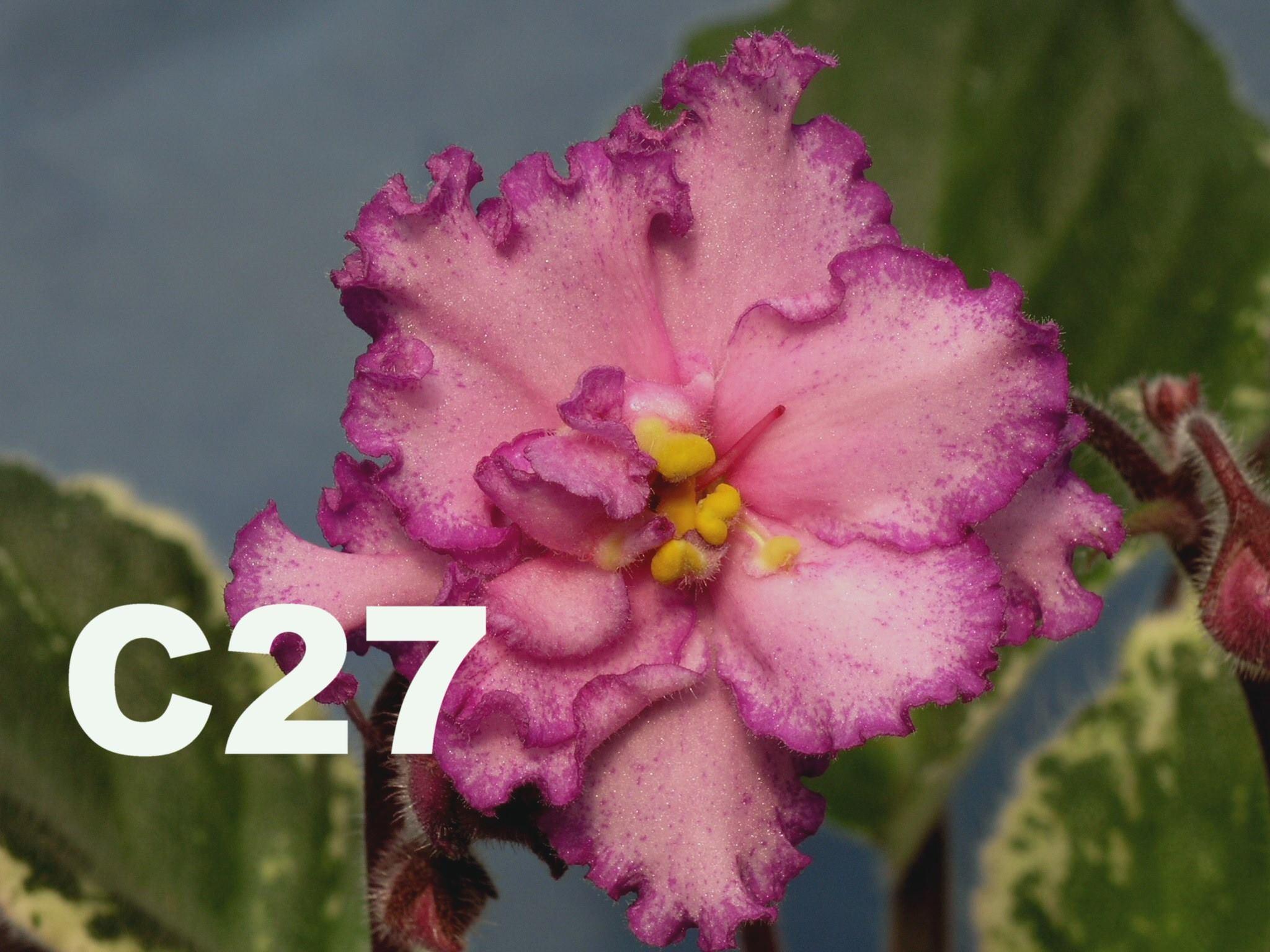 非洲紫羅蘭名錄 | African Violets Catalogue - C系列 C27