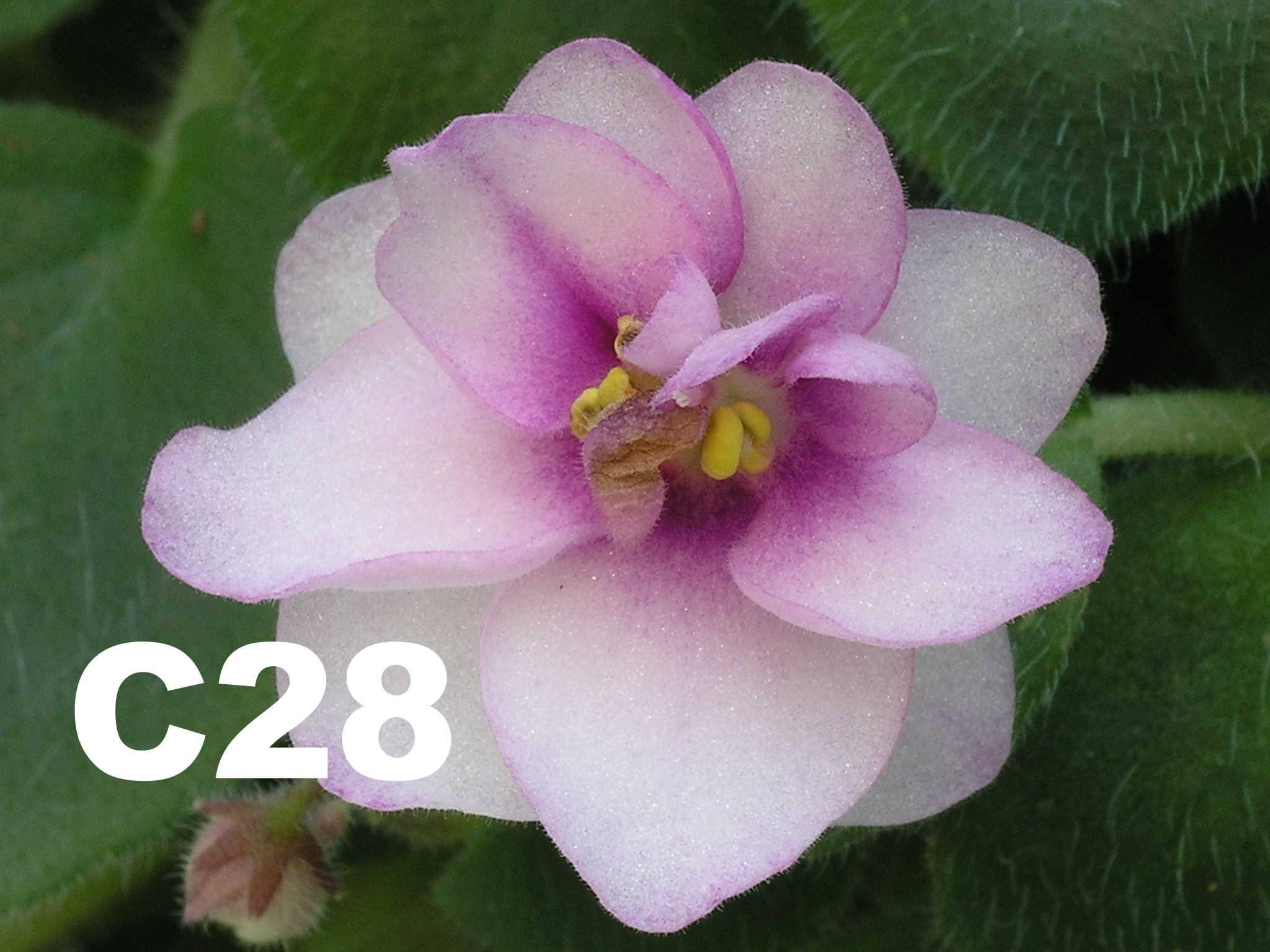 非洲紫羅蘭名錄 | African Violets Catalogue - C系列 C28