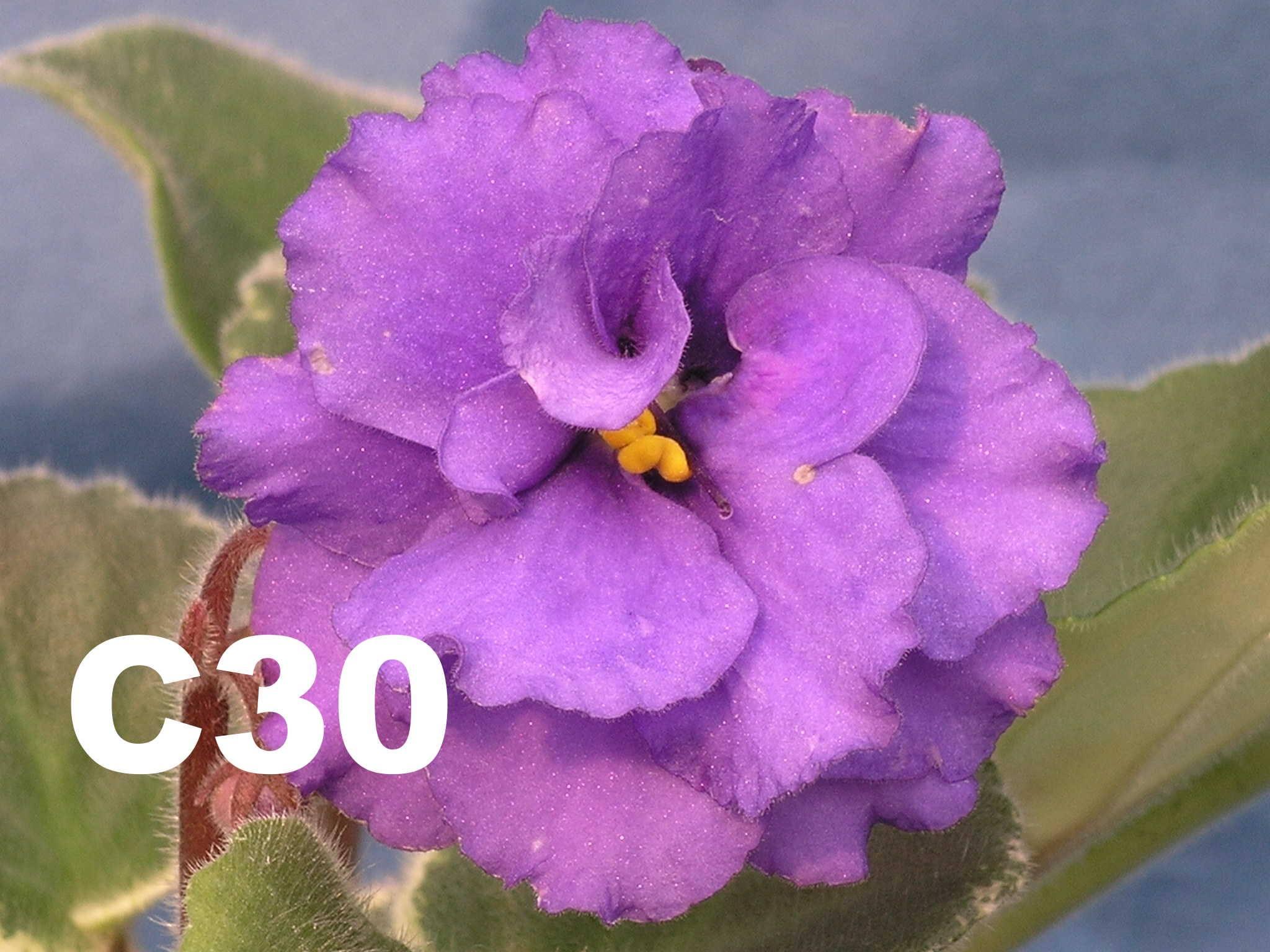 非洲紫羅蘭名錄 | African Violets Catalogue - C系列 C30