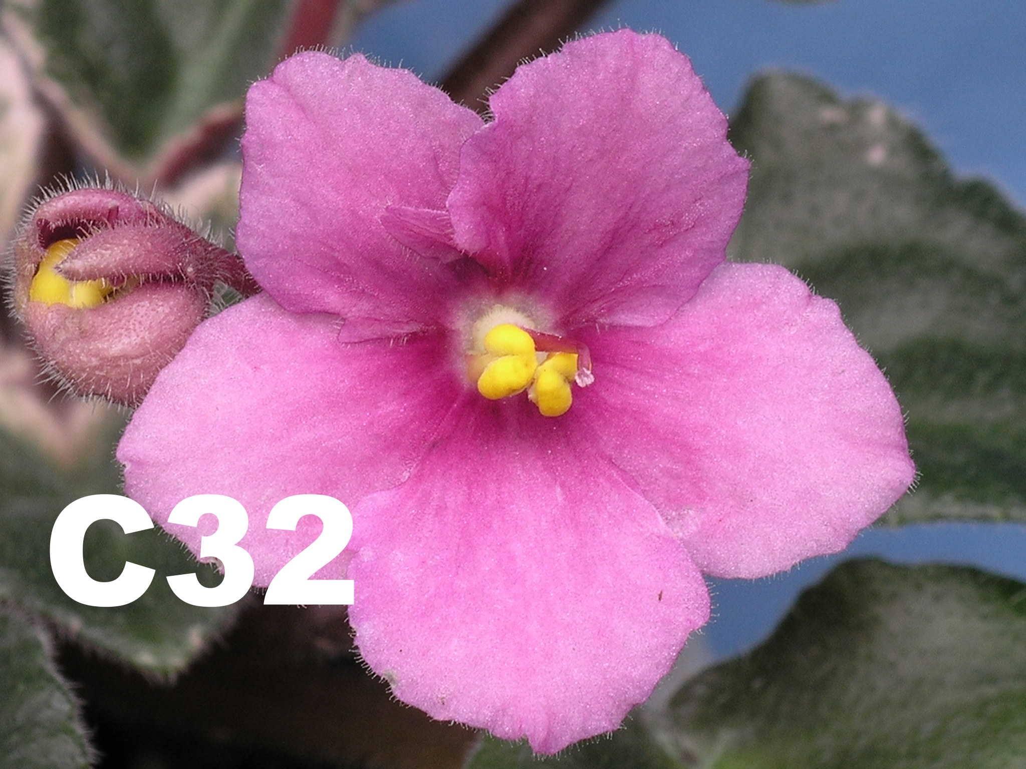 非洲紫羅蘭名錄 | African Violets Catalogue - C系列 C32