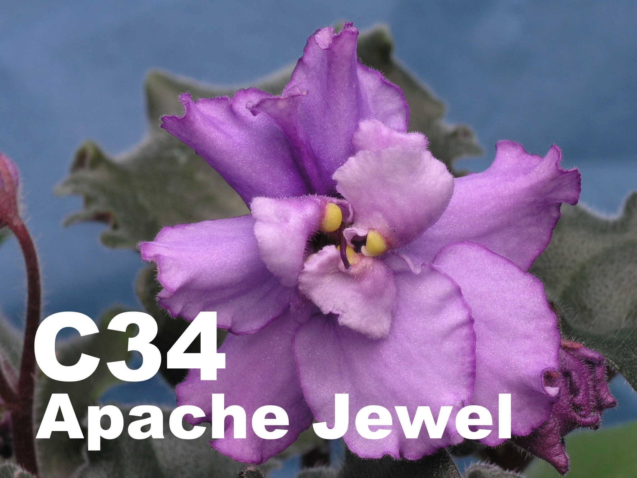 非洲紫羅蘭名錄 | African Violets Catalogue - C系列 C34