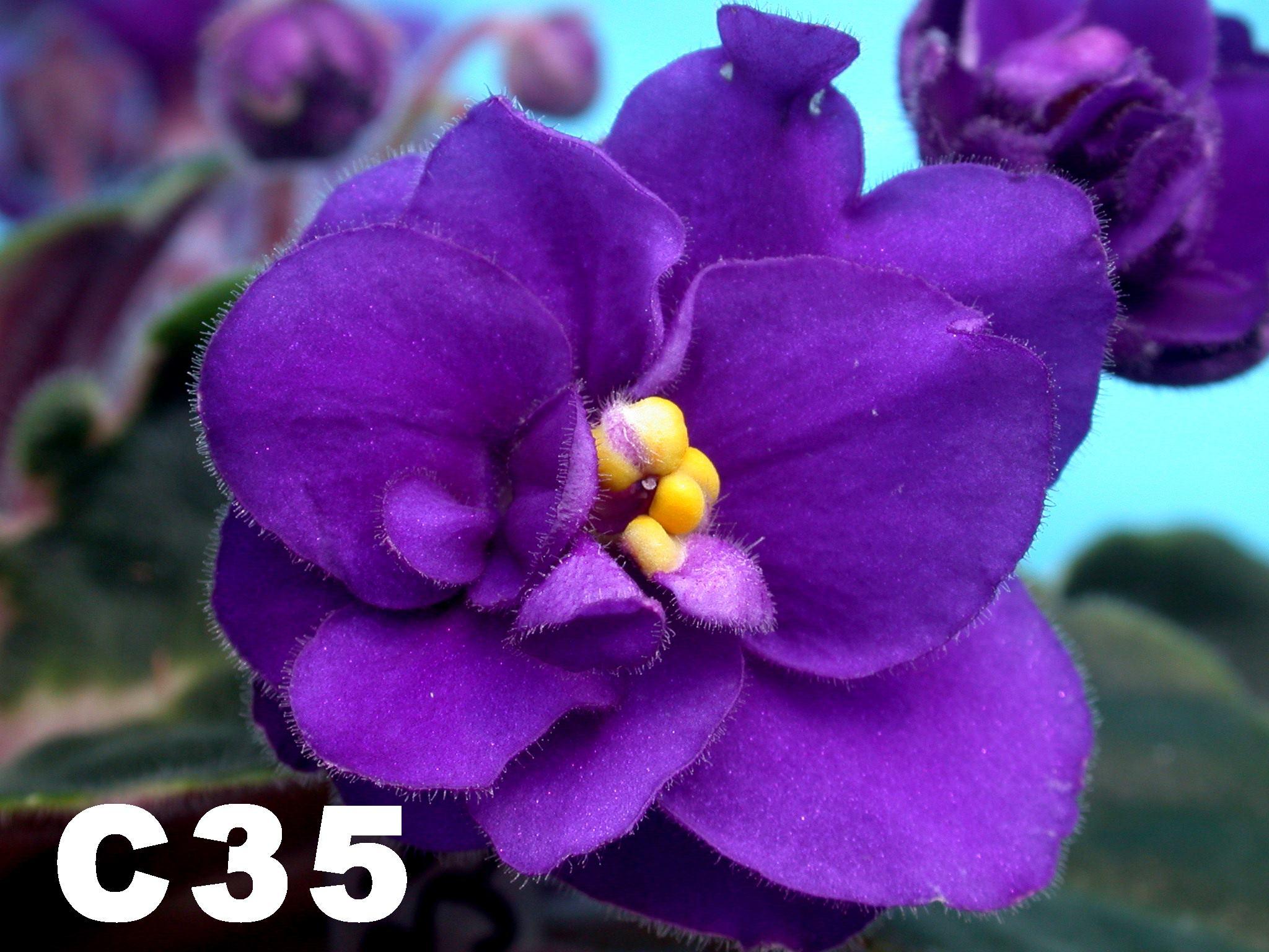 非洲紫羅蘭名錄 | African Violets Catalogue - C系列 C35