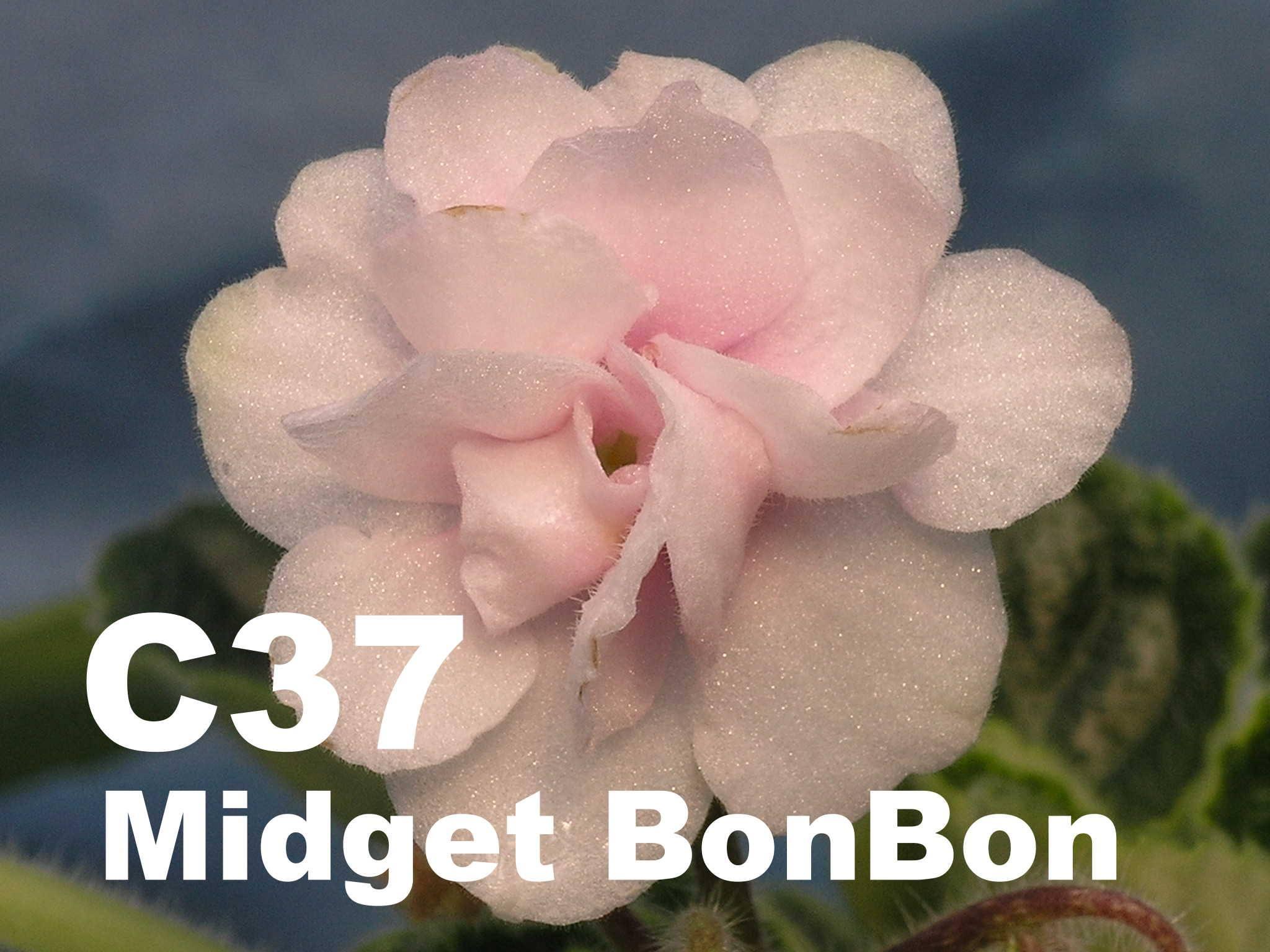 [C37] Midget Bon Bon C37