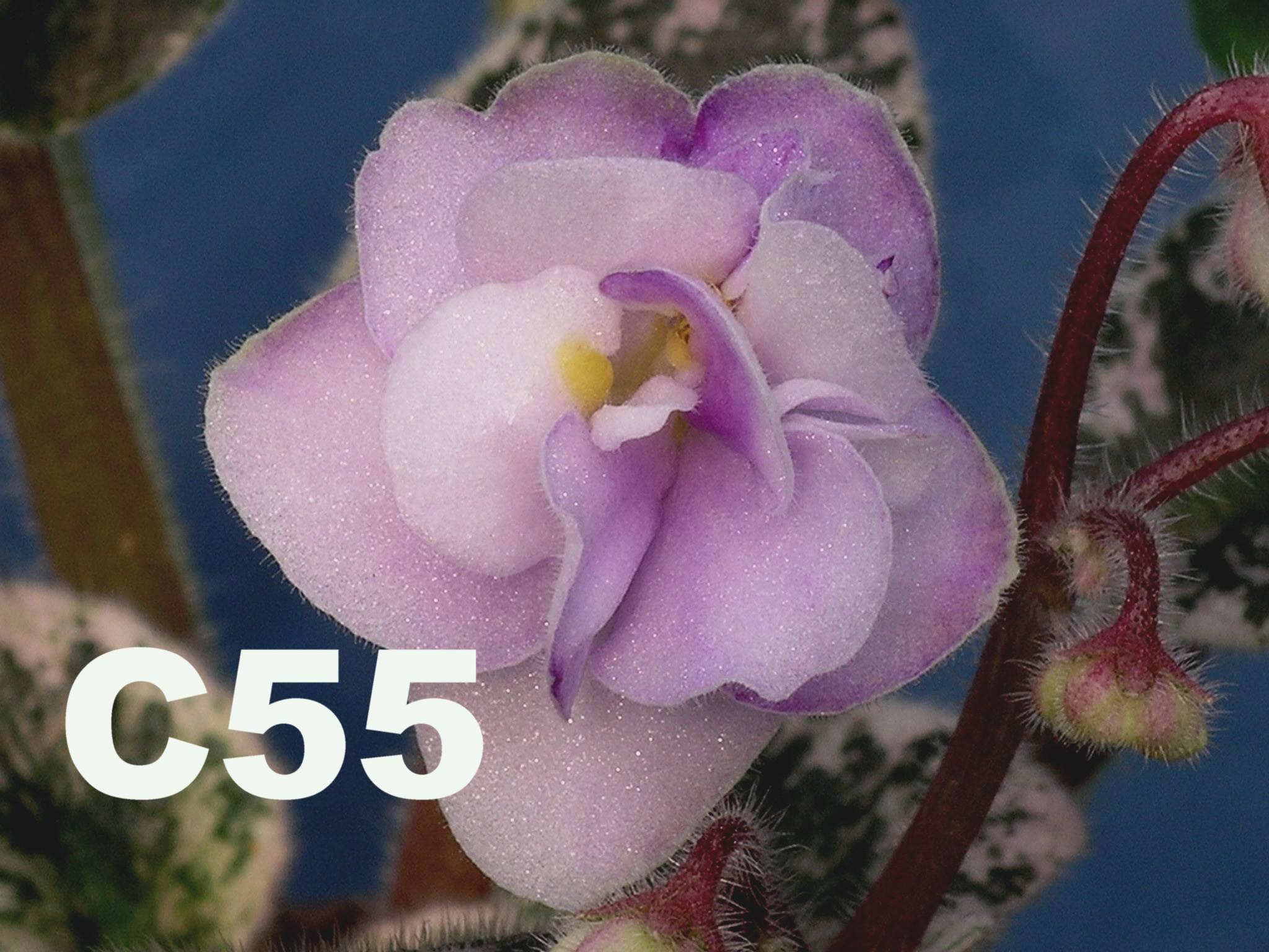 [C55] C55
