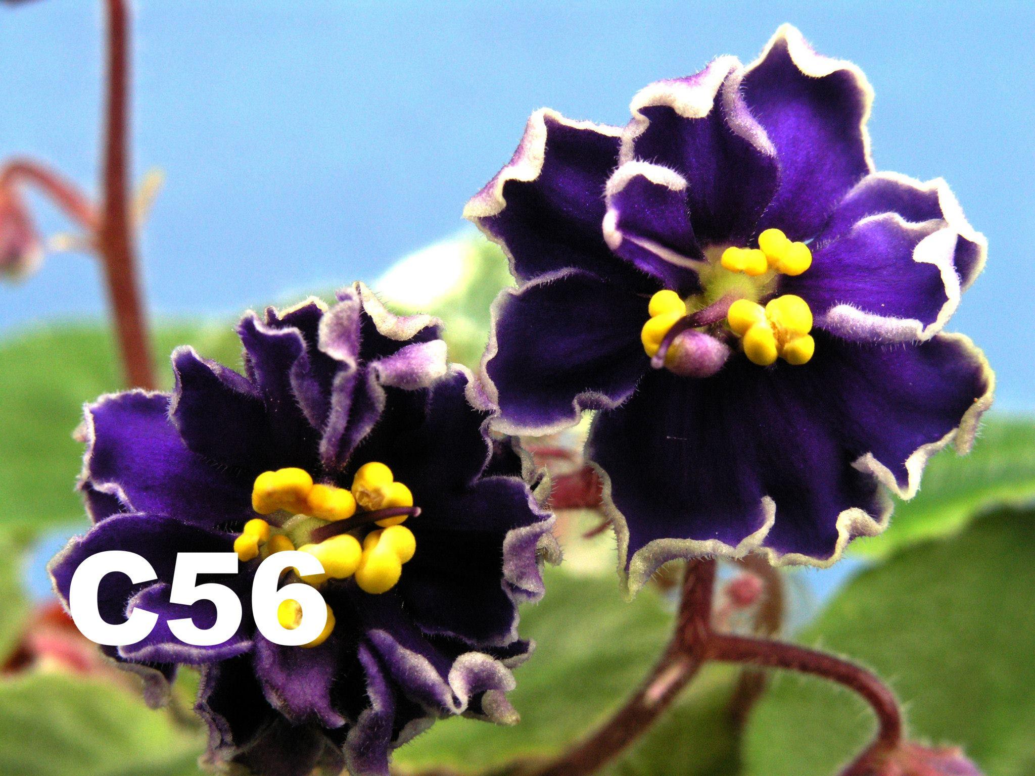 [C56] C56