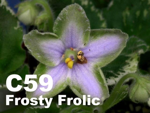 [C59] Frosty Frolic C59