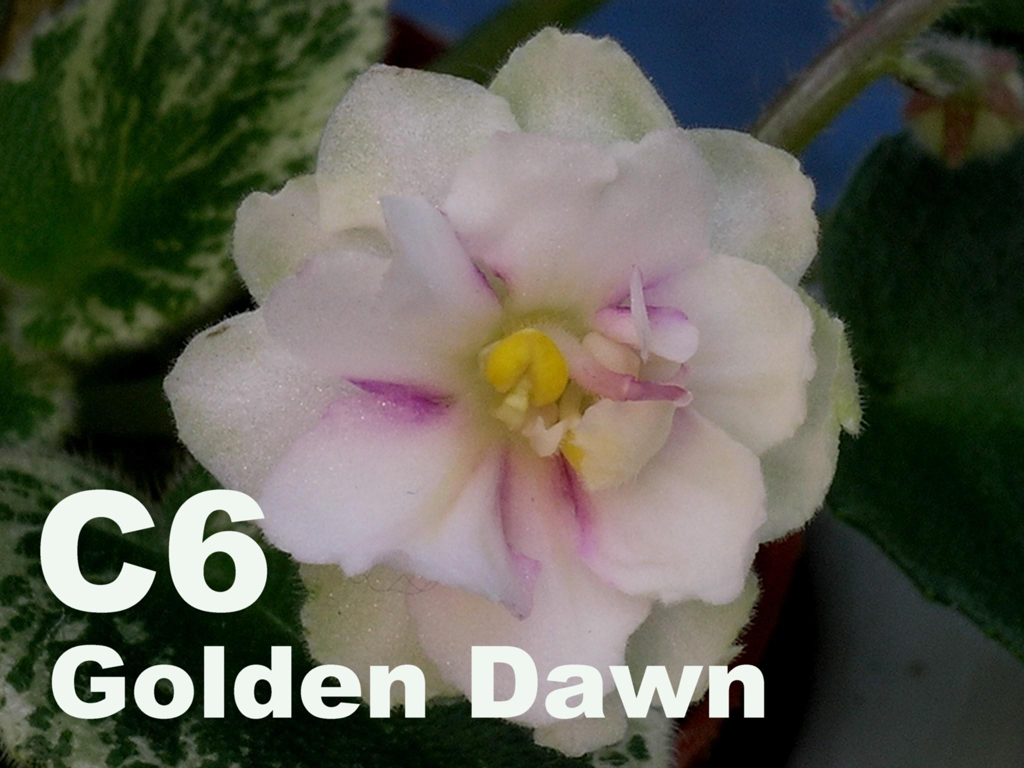 [C6] Golden Dawn C6