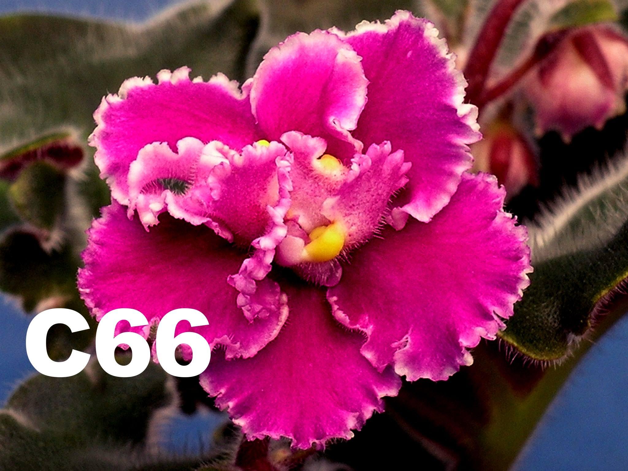 [C66] C66