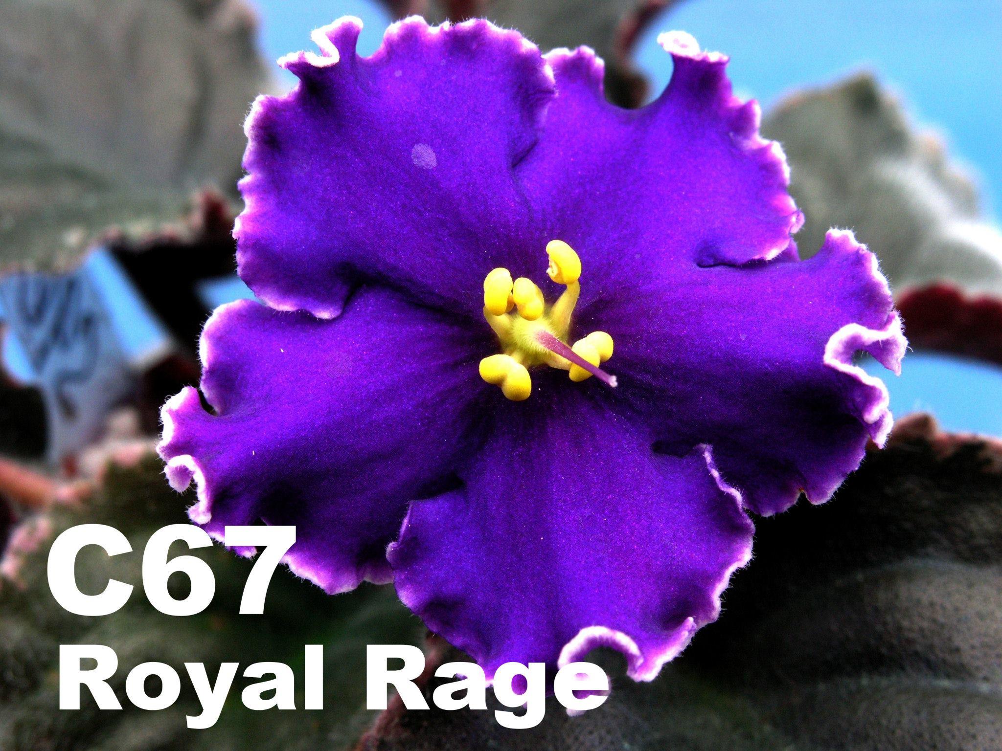 [C67] Royal Rage C67