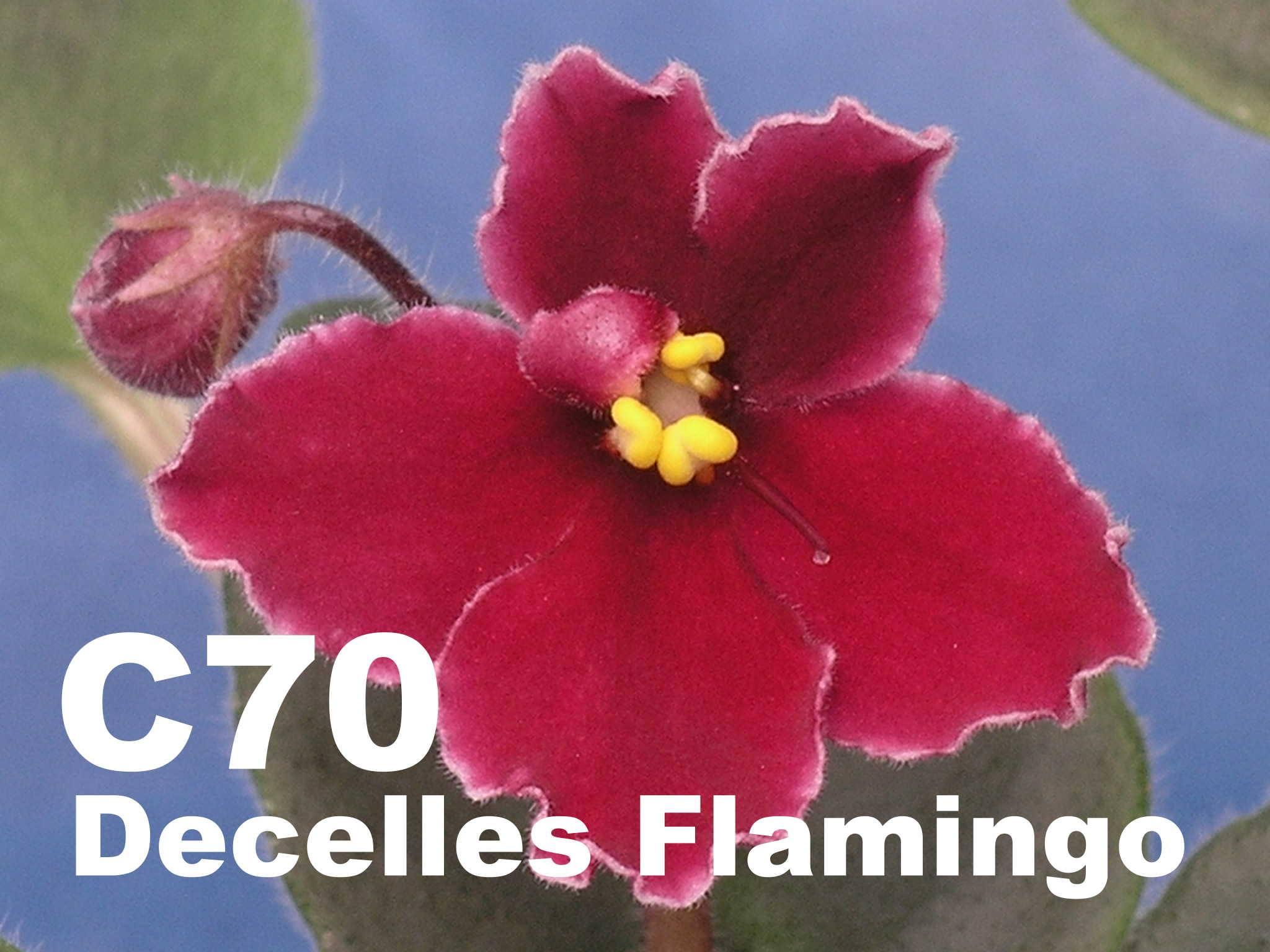 [C70] Decelles' Flamingo C70