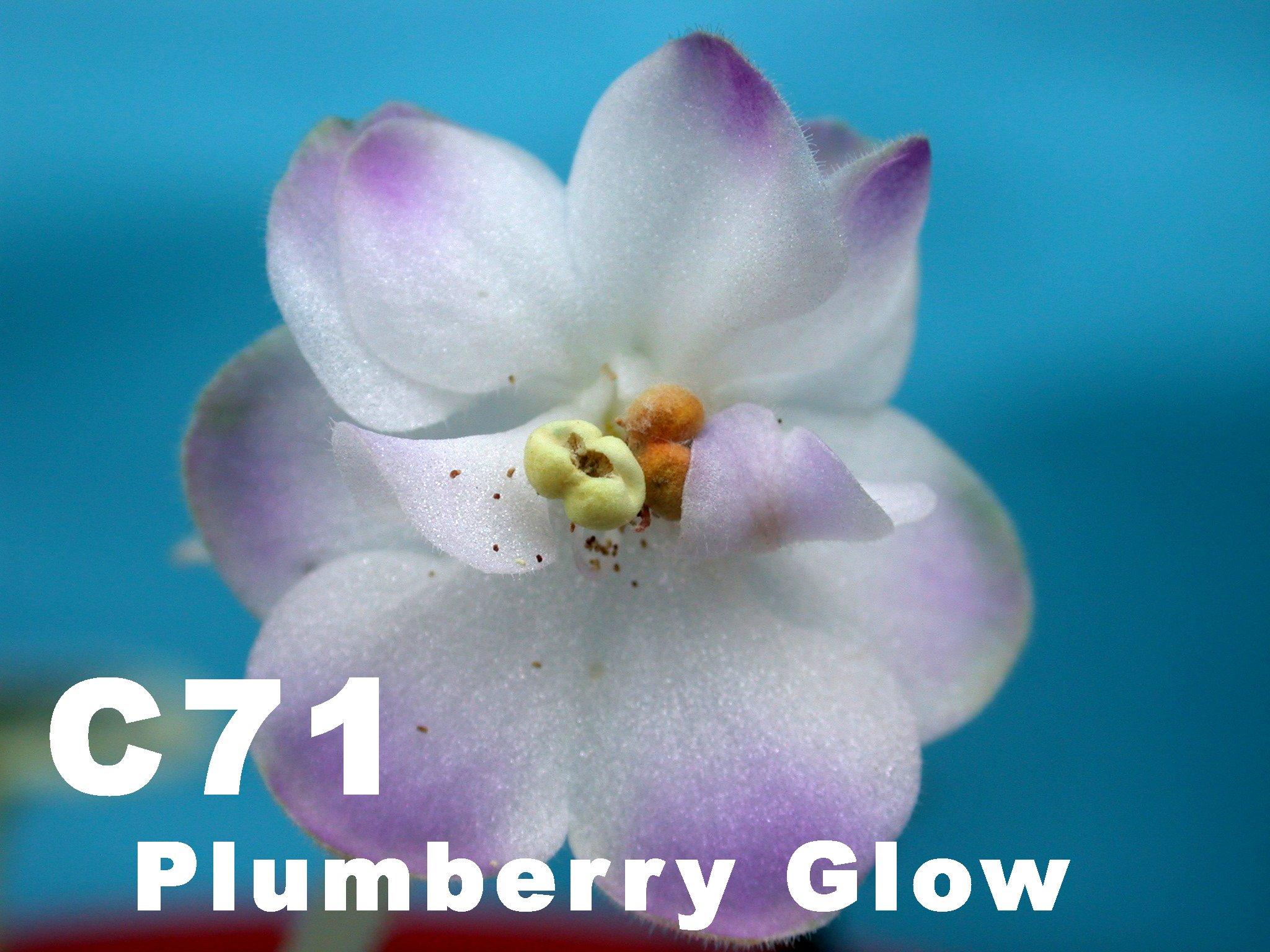 [C71] Plumberry Glow C71