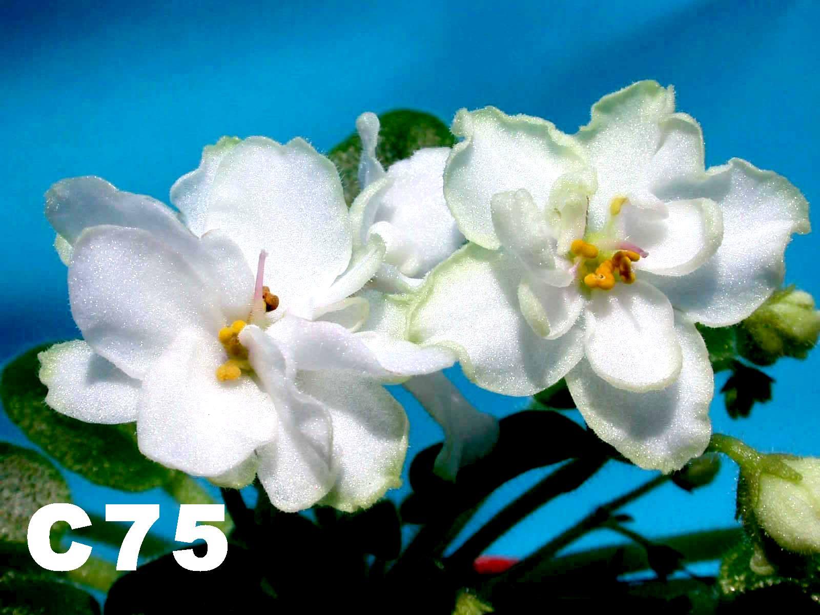 [C75] C75