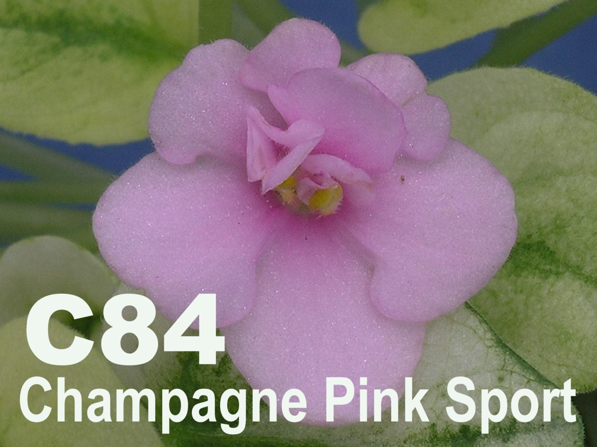 [C84] Champagne Pink Sport C84