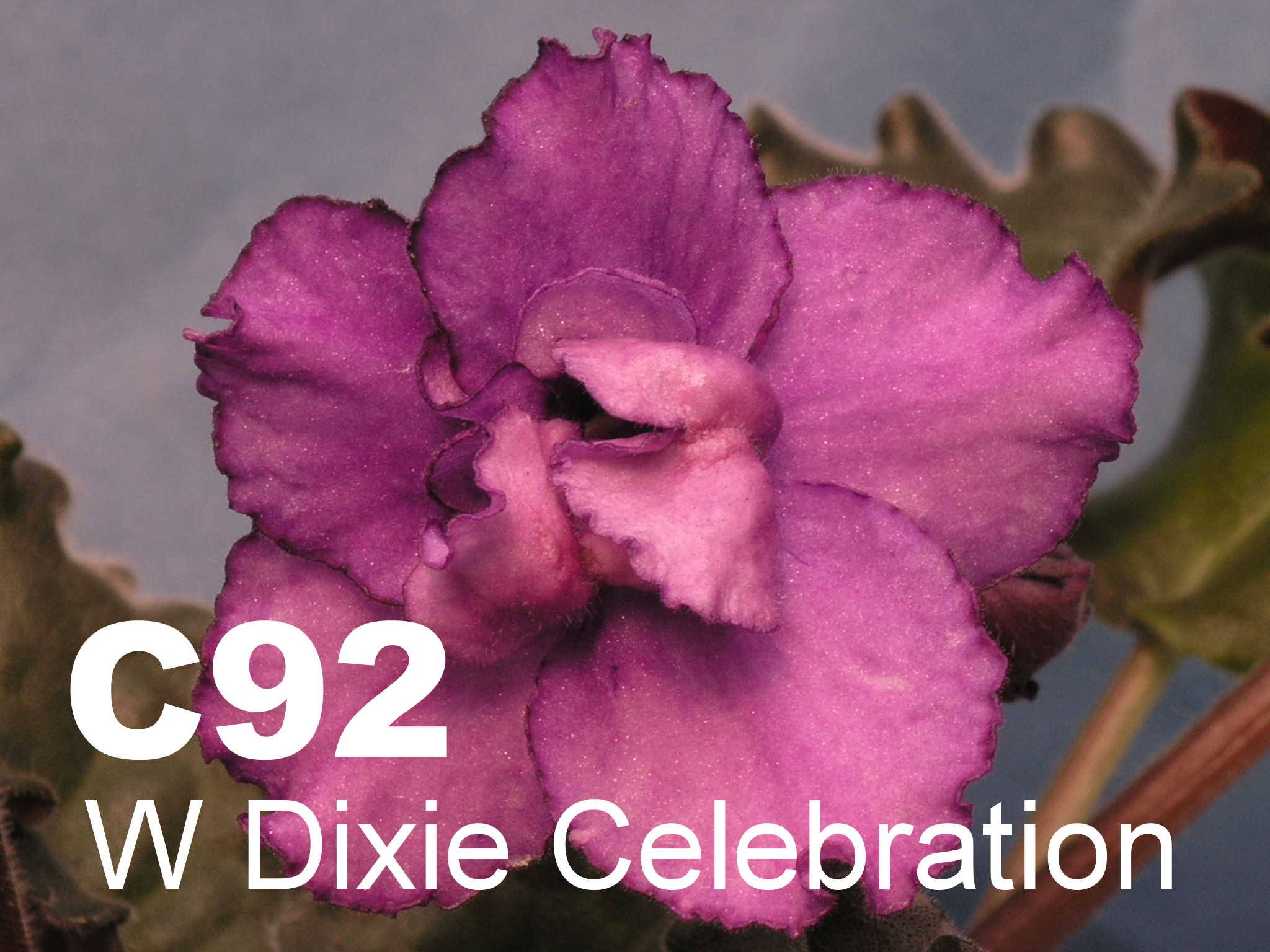 [C92] Wrangler's Dixie Celebration C92
