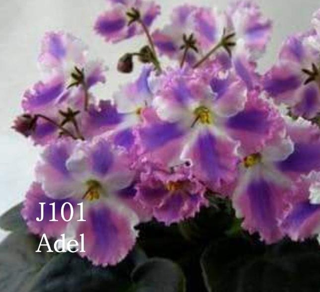 [J101] Adel J101