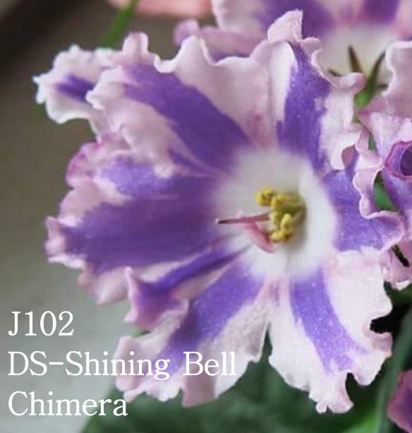 非洲紫羅蘭名錄   African Violets Catalogue - J系列 J102