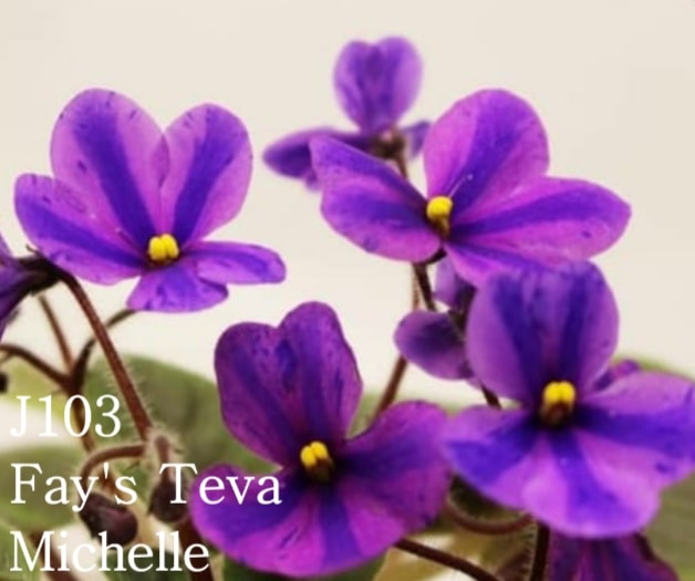 [J103] Fay's Teva Michelle J103