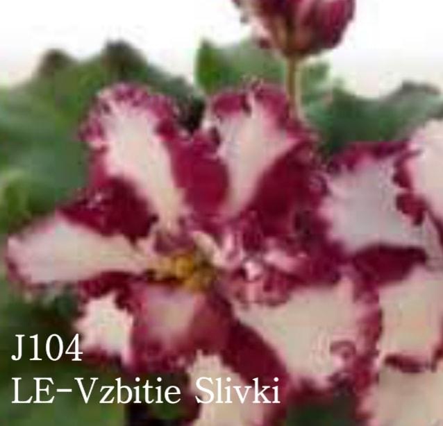 非洲紫羅蘭名錄   African Violets Catalogue - J系列 J104