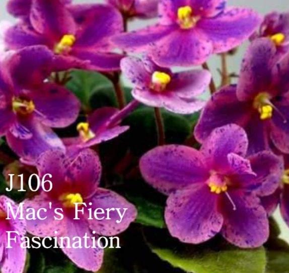 [J106] Mac's Fiery Fascination J106