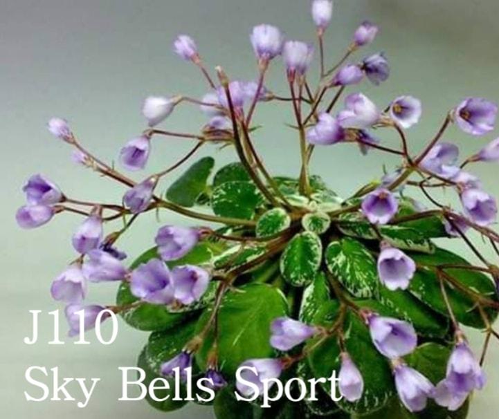 非洲紫羅蘭名錄   African Violets Catalogue - J系列 J110