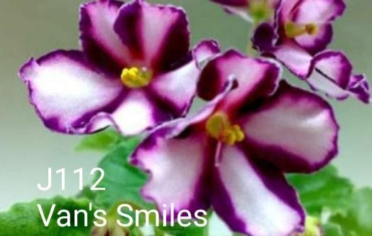 非洲紫羅蘭名錄   African Violets Catalogue - J系列 J112