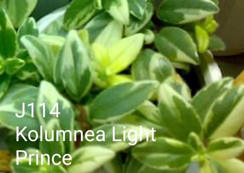 [J114] Kolumnea Light Prince J114