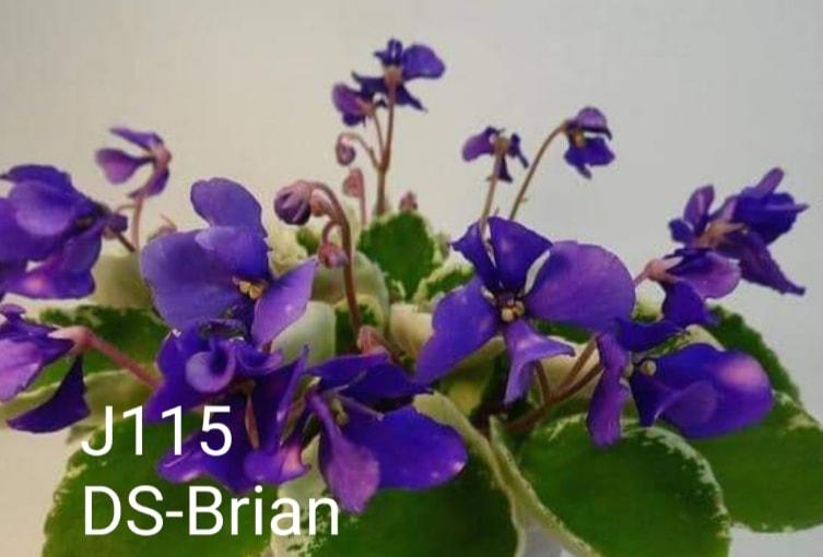 [J115] DS-Brain J115