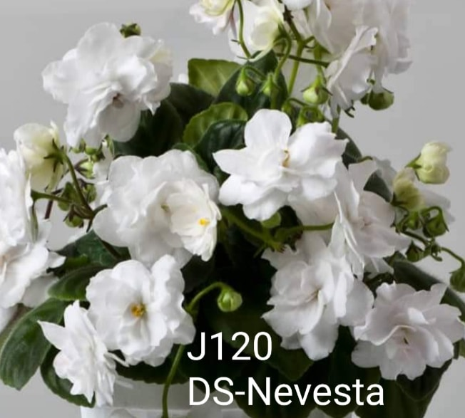 非洲紫羅蘭名錄   African Violets Catalogue - J系列 J120