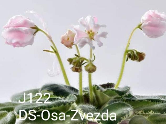 非洲紫羅蘭名錄   African Violets Catalogue - J系列 J122