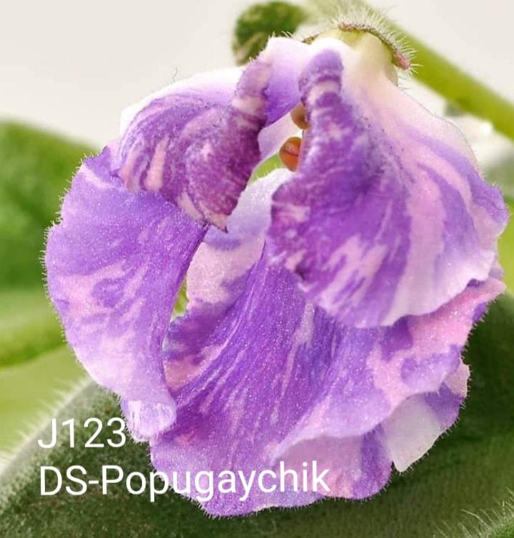 非洲紫羅蘭名錄   African Violets Catalogue - J系列 J123