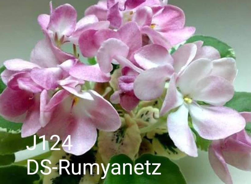 非洲紫羅蘭名錄   African Violets Catalogue - J系列 J124