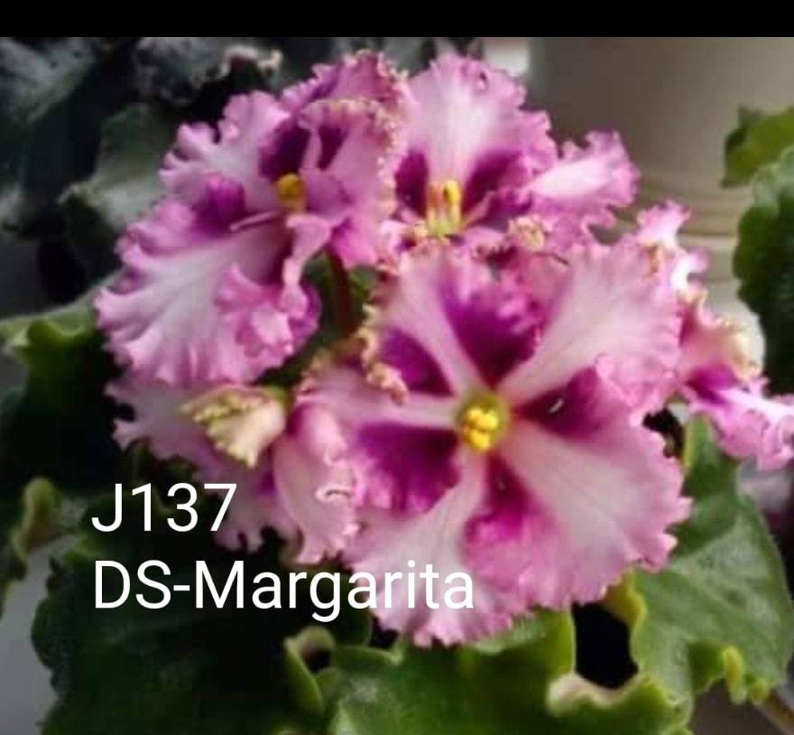 [J137] DS-Margarita J137