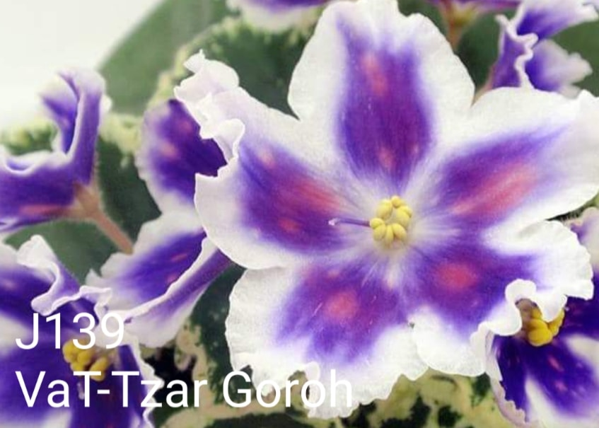 [J139] VaT-Tzar Goroh J139