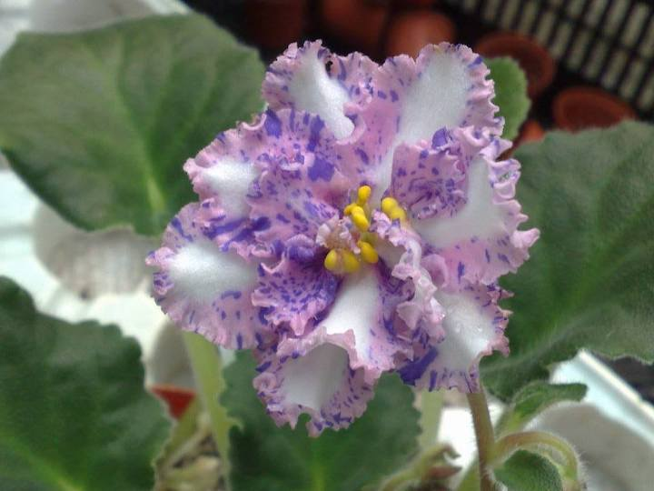 [S516+] Carnation Sprinkles S516+