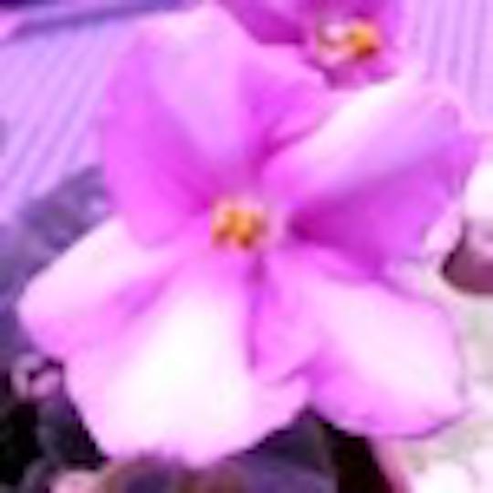 非洲紫羅蘭名錄   African Violets Catalogue - S系列 S567+