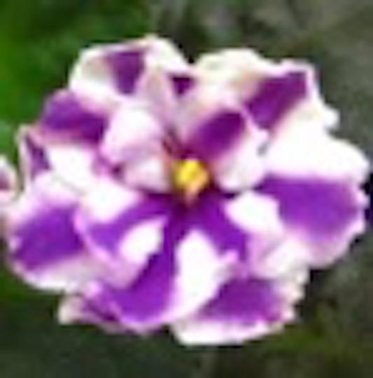 非洲紫羅蘭名錄   African Violets Catalogue - S系列 S569+