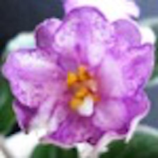 非洲紫羅蘭名錄   African Violets Catalogue - S系列 S575+