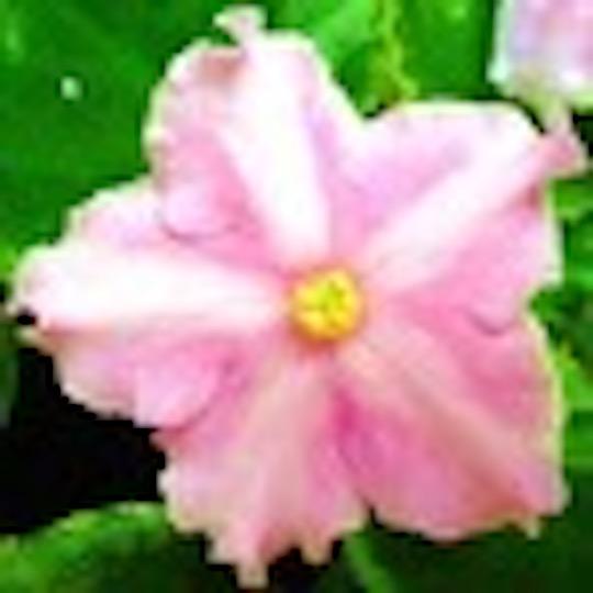 [S835+] Ma's Pink Princess S835+