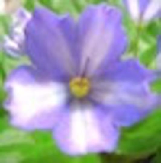[S885+] Yachiyo Blue S885+
